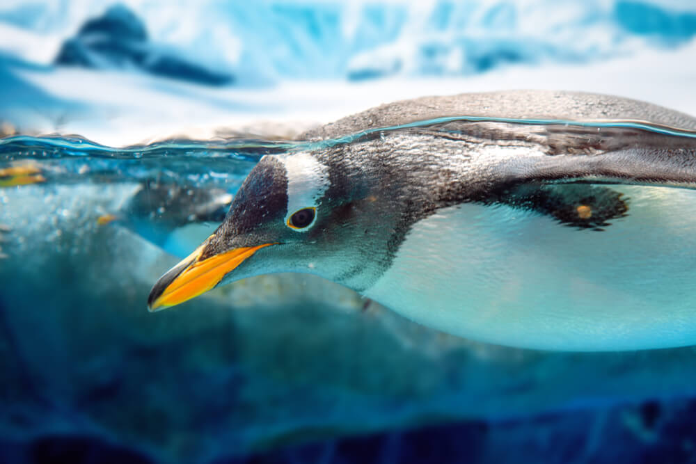 Shedd Aquarium Penguins