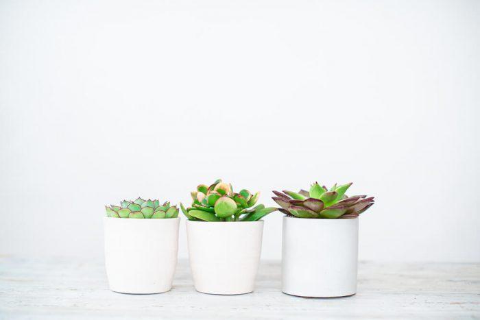 Costa Farms Live Mini Echeveria Indoor Plant
