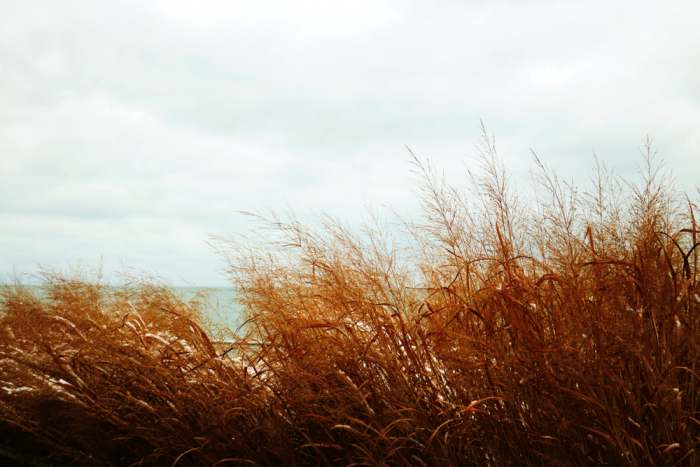 Tall Beach Grasses of Lake Michigan